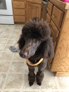 "Lady Cocoa Bean ""Cocoa"" chocolate brown Standard Poodle"